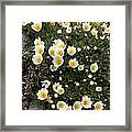 Mountain Avens (dryas Octopetala) Framed Print