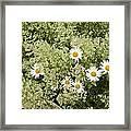 Ox-eye Daisies (leucanthemum Vulgare) Framed Print