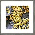 Pseudomonas Aeruginosa Bacteria, Sem Framed Print