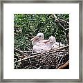 Roseate Spoonbill Chicks Framed Print