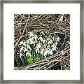 Snowdrop (galanthus Nivalis) Framed Print