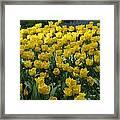 Yellow Tulips 2 Framed Print