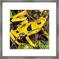 Harlequin Toad Framed Print