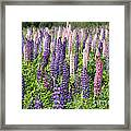 A Field Of Lupins Framed Print