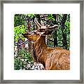 Browsing Elk In The Grand Canyon Framed Print