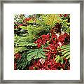 Flamboyant Tree Framed Print