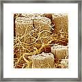 Trachea Muscle, Sem Framed Print by Susumu Nishinaga