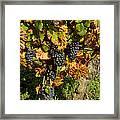 Grapes Growing On Vine Framed Print