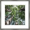 Redwoods Sequoia Sempervirens Framed Print