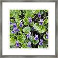 Viola Odorata (sweet Violets) Framed Print