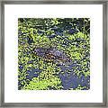 31- Alligator Hatchling Framed Print