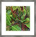 5- Croton Framed Print