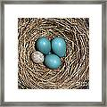 Robins Nest And Cowbird Egg Framed Print