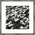A Field Of Prolofic White Daisy Flowers Framed Print