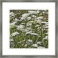 A Field Of Queen Annes Lace Framed Print