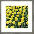 A Field Of Yellow Tulips In Spring Framed Print