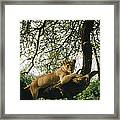 A Lion Panthera Leo Relaxes On A Tree Framed Print
