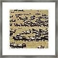A Migrating Herd Of Wildebeests Framed Print