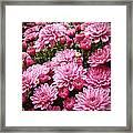 A Sea Of Pink Chrysanthemums Framed Print