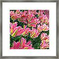 A Sea Of Pink Tulips. Square Format Framed Print