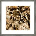 A Tarantula Living In Mangrove Forest Framed Print by Tim Laman