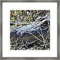 Alligator Two Framed Print