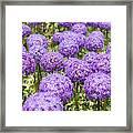 Allium Flower At The Boston Common Framed Print
