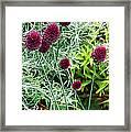 Allium Sphaerocephalum Flowers Framed Print