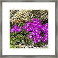 Alpine Primula (primula Hirsuta) Framed Print