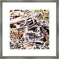American Woodcock Chick Framed Print