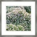 Autumn Stonecrop Framed Print