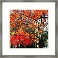 Autumn Sycamore Tree Framed Print
