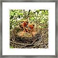 Baby Robins Framed Print