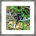 Banded Pennant Dragonfly Framed Print