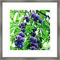 Beautiful Blue Plums On The Tree Framed Print