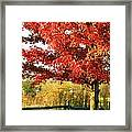 Beautiful Red Maple Tree  Framed Print