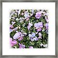Begonias In Bloom Framed Print