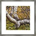 Birch Trees In Autumn Foliage Framed Print