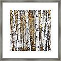 Birch Trees No.0644 Framed Print