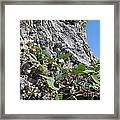 Blackberry On The Rock 04 Framed Print