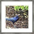 Blue Grackle Framed Print