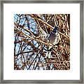 Blue Jay Thinking Framed Print