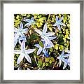 Blue Star Flowers Framed Print