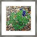 Bluebonnet II Framed Print