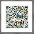 Bluejay In Birches Framed Print