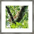 Bobcat In Tree Framed Print