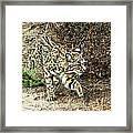 Bobcat Stalking Prey Framed Print