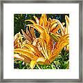 Bold Colorful Orange Lily Flowers Garden Framed Print