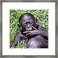 Bonobo 2 Framed Print
