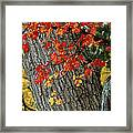 Bright Red Maple Leaves Against An Oak Framed Print by Tim Laman